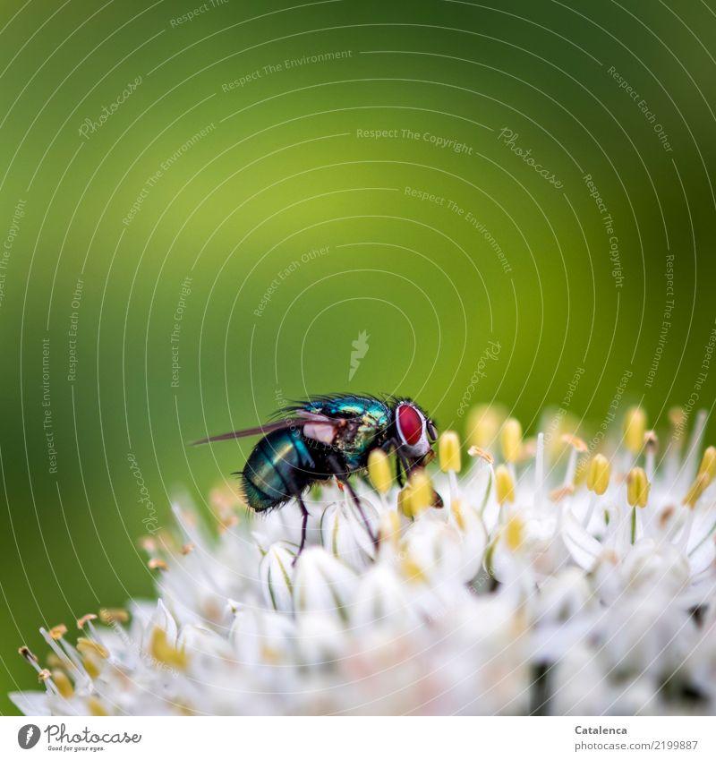 Erinnerungen Natur Pflanze Tier Sommer Blüte Lauchgemüse Porree Garten Fliege Schmeißfliege 1 fliegen Fressen Duft gelb grün rot schwarz türkis weiß Leben