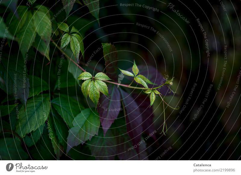 Wilder Wein Natur Flora Pflanze Garten Sommer Tag Tageslicht Blatt Ranke Selbstkletternde Jungfernrebe Weinrebengewächs Kletterpflanze wachsen Wachstum Grün