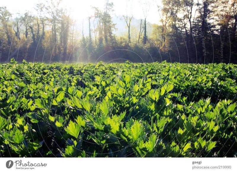 Sellerie Lebensmittel Gemüse Umwelt Natur Landschaft Pflanze Himmel Sonne Sonnenlicht Herbst Schönes Wetter Baum Nutzpflanze Feld Gesundheit natürlich Farbfoto