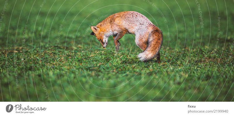 Fuchs und Maus Tier Natur Säugetier Wald Wildtier wild niedlich Tierporträt Wiese Feld Nahaufnahme springen Lebensmittel waldbewohner orange Außenaufnahme