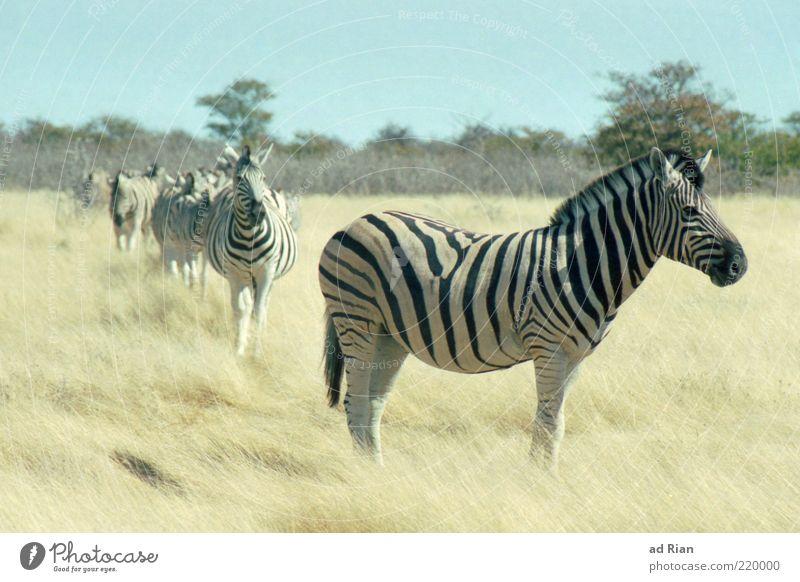 wenn gestreifte Pferde wandern. Natur Himmel Tier Gras mehrere Wildtier Safari Zebra Herde freilebend freilaufend hintereinander