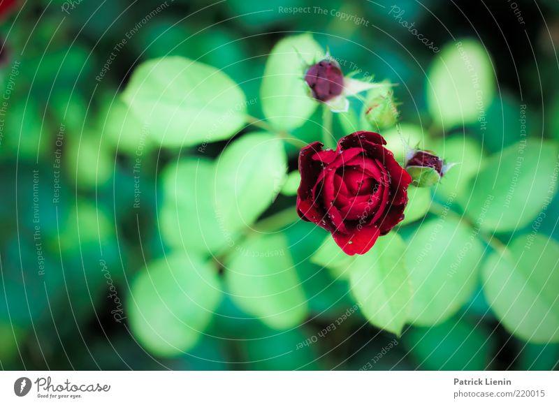 1000 Rosen Natur schön rot Pflanze Sommer Blatt Umwelt Blüte Stimmung Kraft Urelemente Romantik Rose Warmherzigkeit Verliebtheit Blume