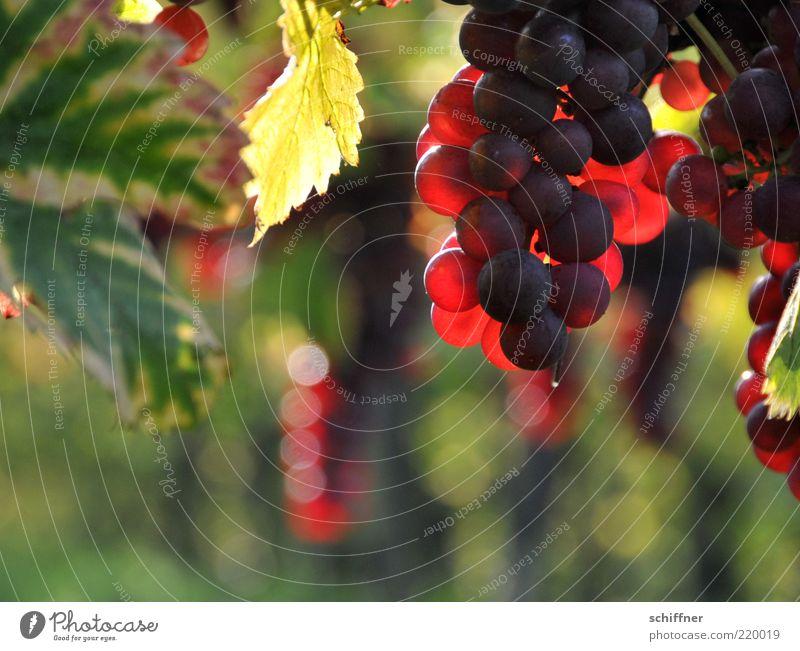 Spätburgunder am Stock II Nutzpflanze leuchten süß Weintrauben Weinbau Weinblatt Pinot Noir lecker lieblich Ernährung Unschärfe rot Sonnenlicht durchleuchtet