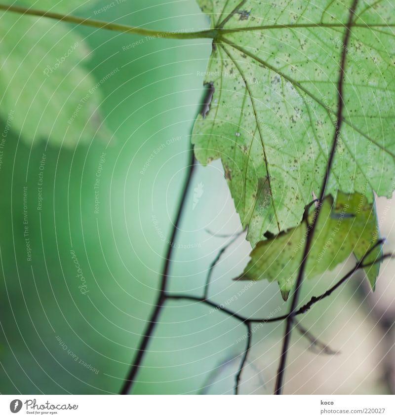 Blättchen III Natur Pflanze Sommer Herbst Blatt Grünpflanze Linie verblüht Wachstum grün schwarz Umwelt Vergänglichkeit Wandel & Veränderung Farbfoto