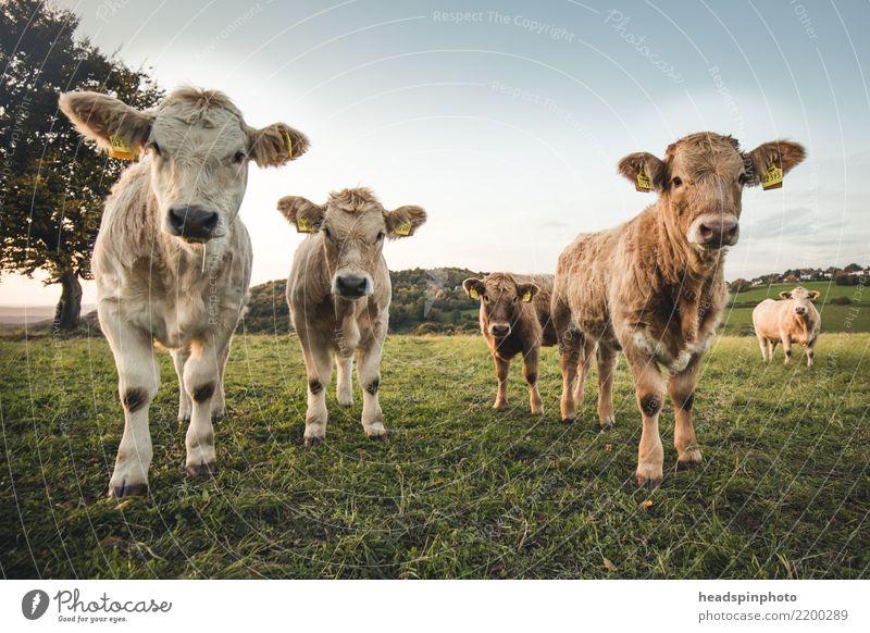 Gruppe von vier jungen Rindern auf einer Weide Umwelt Herbst Schönes Wetter Wiese Feld Landwirtschaft Tier Nutztier Kuh Bulle 4 Tiergruppe Tierjunges beobachten