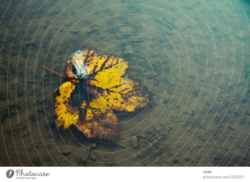 Blatt, nass Natur alt Wasser schön Blatt gelb Herbst braun Wetter natürlich authentisch nass ästhetisch Wandel & Veränderung Vergänglichkeit Trauer