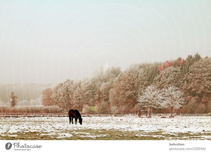 alle jahre wieder... Natur Landschaft Himmel Herbst Winter Schönes Wetter Nebel Eis Frost Schnee Schneefall Baum Gras Sträucher Wiese Feld Nutztier Pferd 1 Tier