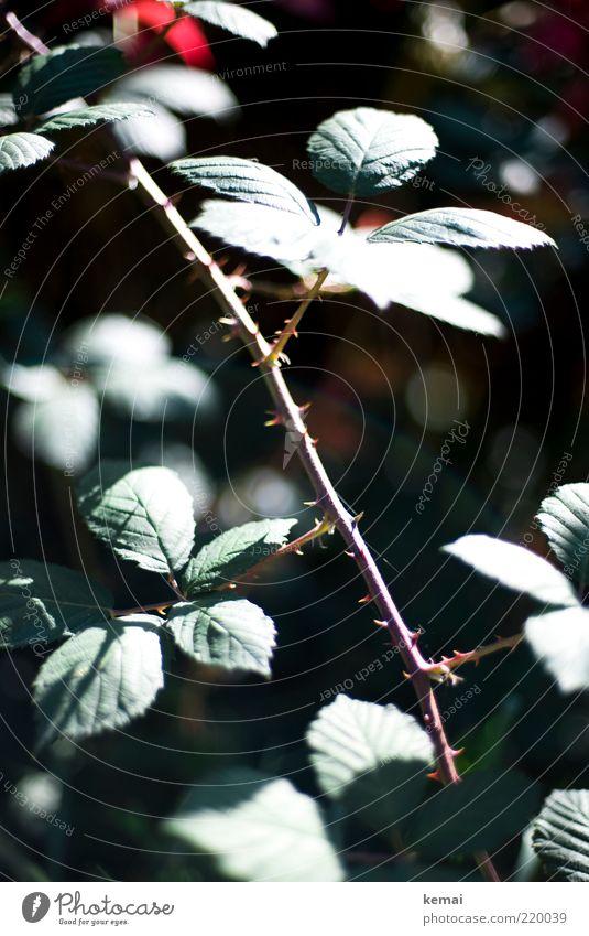 Rosendornen Natur Blume grün Pflanze Sommer Blatt Herbst Umwelt Rose Wachstum Spitze Stengel leuchten Schönes Wetter stachelig Dorn