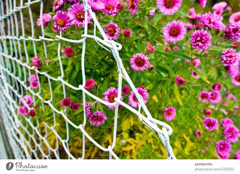 Astern Sommer Garten Natur Pflanze Klima Blüte frisch saftig rosa rot Brandenburg Zaun Maschendraht Maschendrahtzaun mehrfarbig Blühend Farbfoto Außenaufnahme