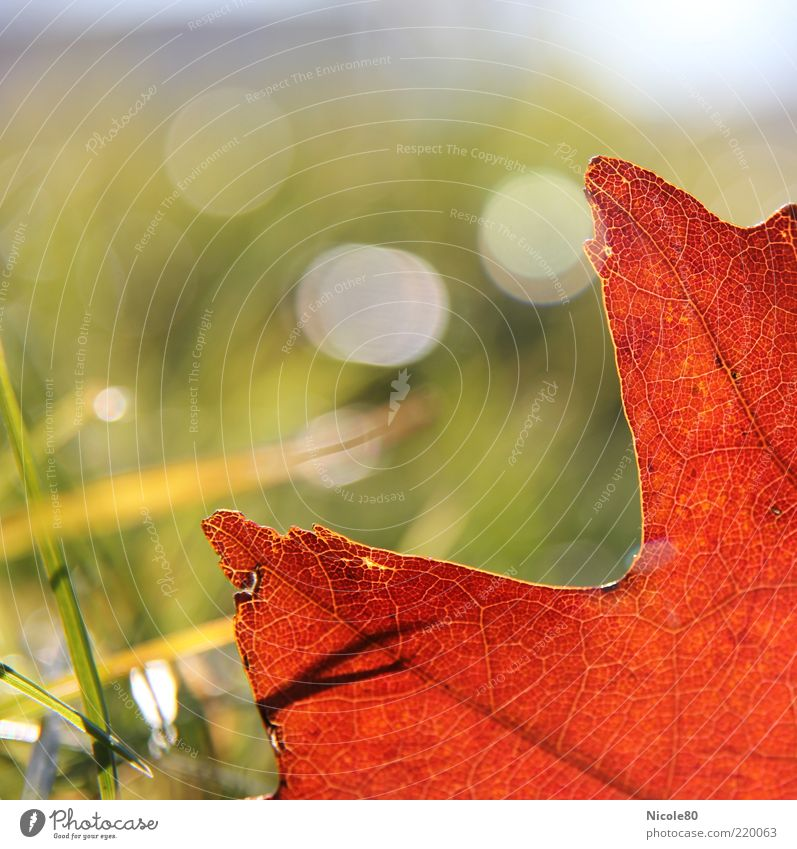 rotes eichenblatt Natur grün Pflanze Blatt Wiese Herbst Gras Umwelt Halm Schönes Wetter Blattadern Herbstlaub Blendenfleck Herbstfärbung Eichenblatt