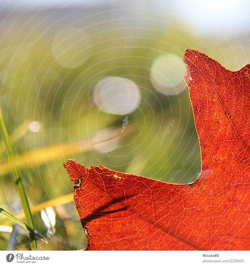 rotes eichenblatt Umwelt Natur Pflanze Herbst Schönes Wetter Gras Blatt Wiese grün Eichenblatt Farbfoto Außenaufnahme Detailaufnahme Makroaufnahme Menschenleer
