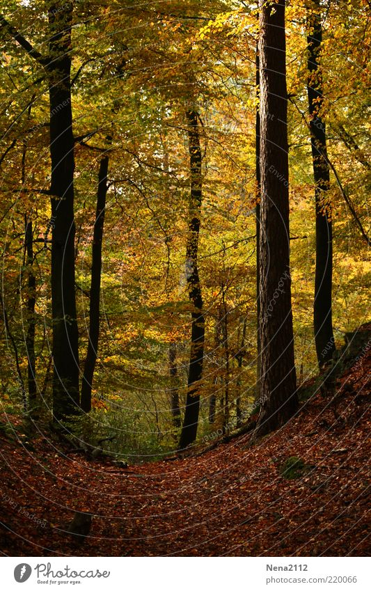 Herzliches Herbst Natur Baum Blatt gelb Wald Wege & Pfade Landschaft braun Beleuchtung Wetter Umwelt Erde Spaziergang Klima leuchten