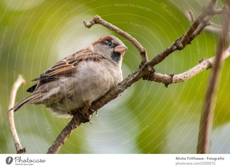 Aufgeplusterter Spatz Natur Pflanze grün Sonne Baum Tier gelb Umwelt natürlich klein braun Vogel fliegen leuchten Wetter Wildtier
