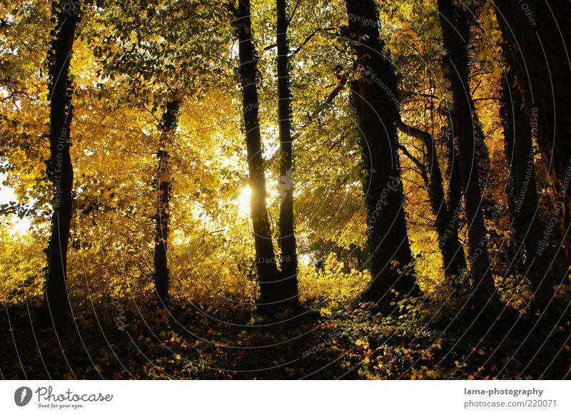Herbstgestalten Natur Baum Blatt gelb Wald gold leuchten Baumstamm Herbstlaub Waldboden Schatten Sonnenstrahlen Licht herbstlich Herbstfärbung
