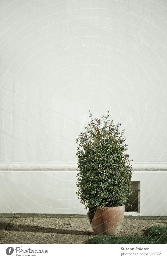 Schatten weiß Wiese Wand Gras Garten Fassade Sträucher trocken Kies Blumentopf Topfpflanze Kanton Buchsbaum Kellerfenster Schotterweg