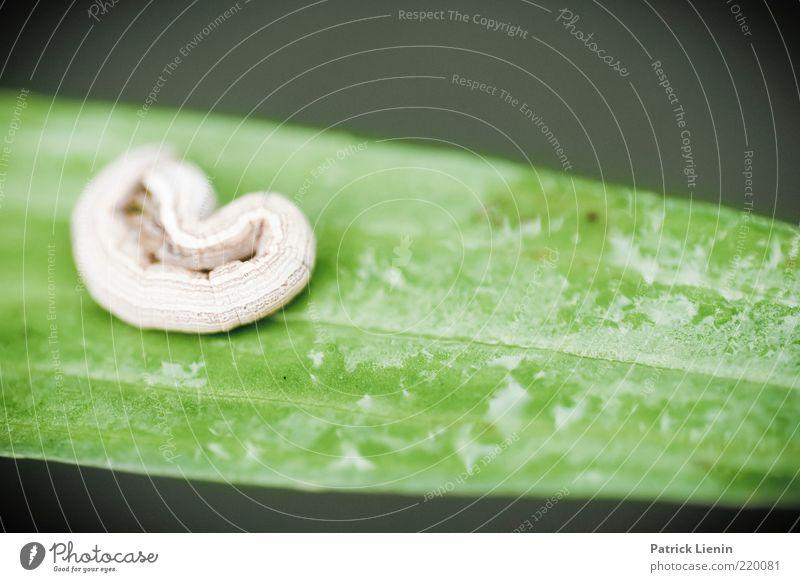 kleines Ding Umwelt Natur Pflanze Tier Blatt Wildtier 1 außergewöhnlich frech schön grün Raupe niedlich verstecken Angst Farbfoto Nahaufnahme Detailaufnahme