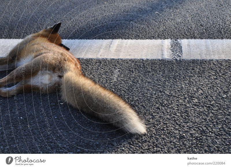 Schläft nur Tier Verkehrsunfall Straße Wildtier Totes Tier Fell 1 kuschlig wild braun Gefühle Trauer Tod Farbfoto Außenaufnahme Textfreiraum rechts Abend