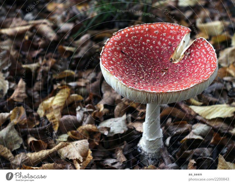 Ein Männlein steht im Walde ... Umwelt Natur Erde Herbst Pflanze Pilz Pilzsucher Fliegenpilz Pilzhut leuchten Wachstum ästhetisch authentisch außergewöhnlich