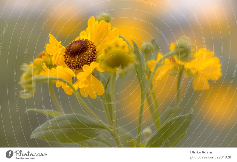 Gelbe Blüten der Sonnenbraut (Helenium) harmonisch Wohlgefühl Zufriedenheit Sinnesorgane Erholung ruhig Meditation Tapete Valentinstag Natur Pflanze Sommer