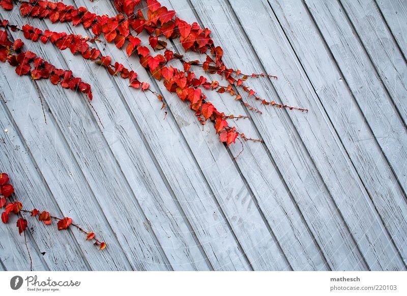 Herbst Natur blau Pflanze rot ruhig Blatt Farbe Leben Umwelt Wachstum bedrohlich fest Ranke Efeu Holzwand Herbstfärbung