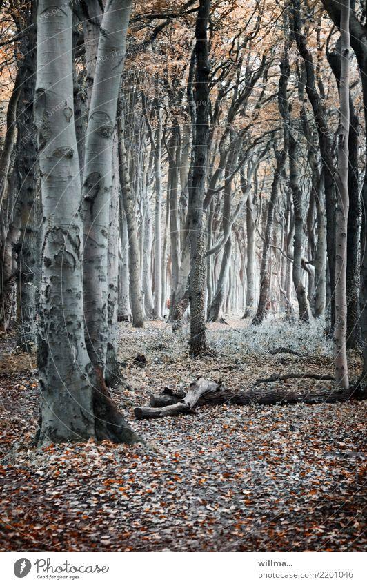 Herbstlicher Wald mit Buchen im Gespensterwald Baum Naturschutzgebiet Küstenwald Nienhagen Mecklenburg-Vorpommern Buchenwald Herbstwald dunkel Buchenstämme