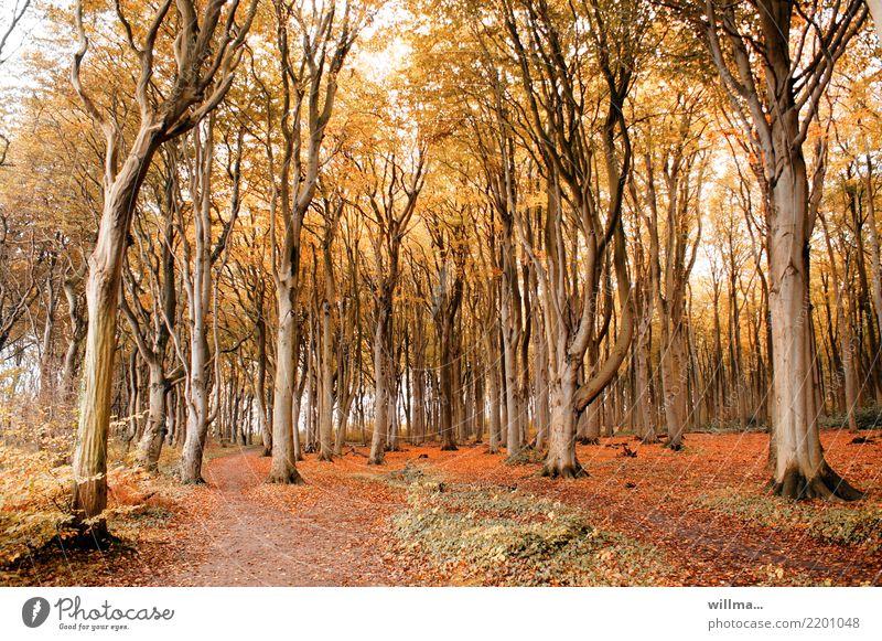 Buchenwald in Nienhagen Herbst Baum Herbstfärbung Herbstlaub Herbstwald Herbstwetter Wald Küstenwald Gespensterwald Naturschutzgebiet Wege & Pfade natürlich