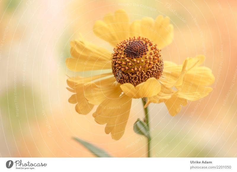 Gelbe Sonnenbraut Leben harmonisch Wohlgefühl Zufriedenheit Erholung ruhig Meditation Dekoration & Verzierung Tapete Muttertag Natur Pflanze Sommer Herbst Blume