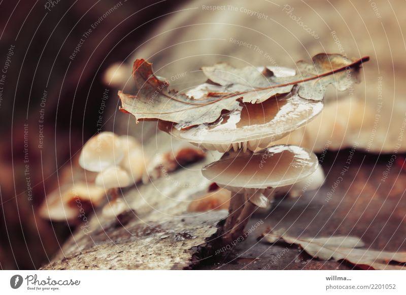 bilmpauze Herbst Blatt Pilz Baumpilz Baumrinde nass natürlich braun herbstlich Farbfoto Außenaufnahme