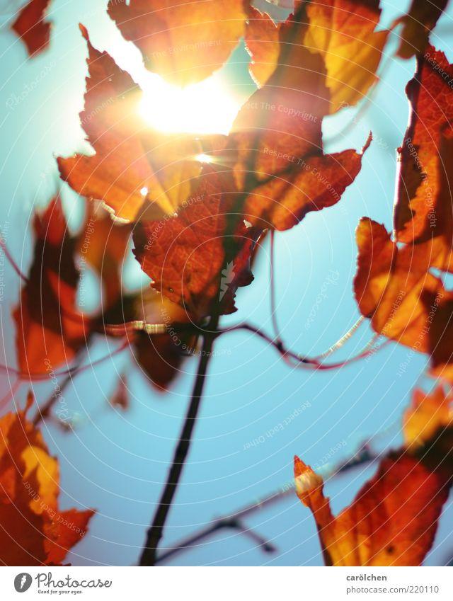 100 | i'm on fire Natur Sonnenlicht Herbst Pflanze Blatt blau gelb gold rot Kupferkirsche Felsenkirsche Park Herbstlaub herbstlich Herbstfärbung Indian Summer