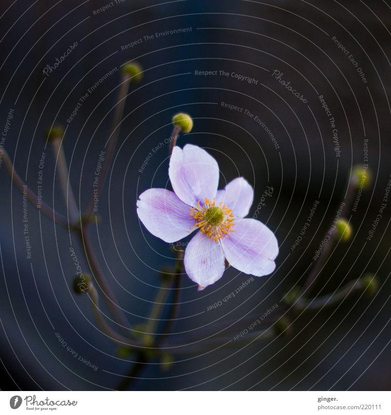dem Licht entgegen Natur schön Pflanze Blume Umwelt dunkel kalt Blüte hell natürlich rosa ästhetisch Stengel Duft sanft Blütenknospen
