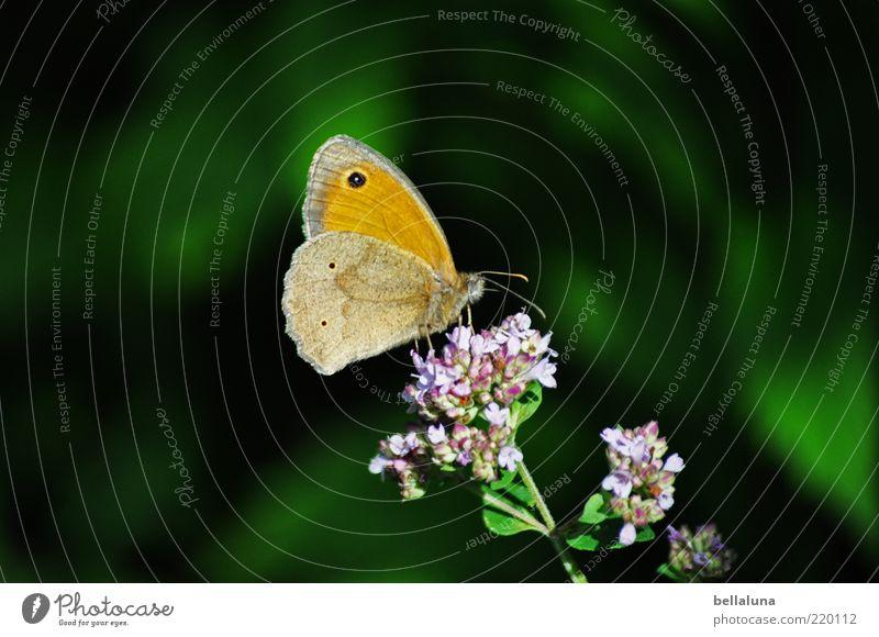 Kleiner Heufalter Natur schön Blume grün Pflanze Tier Blüte Umwelt sitzen Flügel Insekt Schmetterling Stengel Wildtier Schönes Wetter Wildpflanze