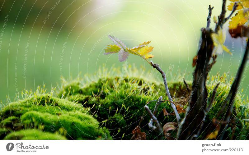 herbstzweiglein Natur Pflanze Herbst Schönes Wetter Baum Moos Blatt Menschenleer Wachstum natürlich braun gelb gold grün elegant Idylle einzigartig Zweig