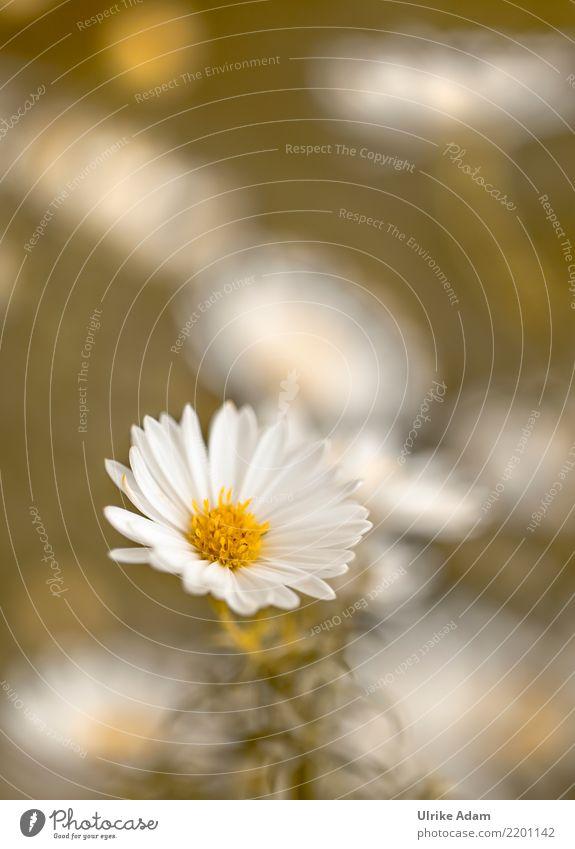 Weiße Herbstaster Natur Pflanze Blume Blüte Astern Garten Park Blühend einfach hochkant Blütenblätter Bokeh zart weiß herbstlich Farbfoto Gedeckte Farben
