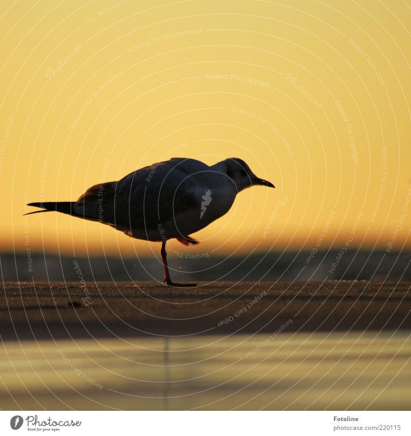 Für unsere Lachfalte! Umwelt Natur Tier Urelemente Erde Sand Wasser Himmel Wolkenloser Himmel Küste Strand Ostsee Wildtier Vogel Tiergesicht Flügel 1 nah nass