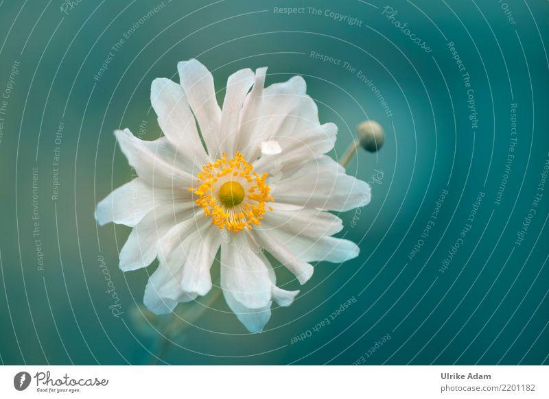 Weiße Anemone Natur Pflanze Sommer schön grün weiß Blume Erholung ruhig Leben Blüte Herbst Garten Zufriedenheit Park frisch