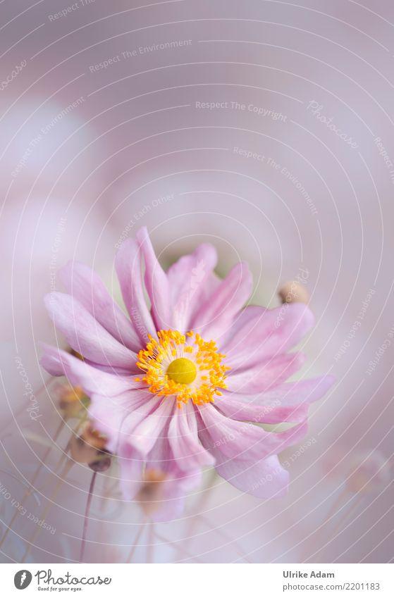 Rosa Anemone Natur Pflanze Sommer schön Blume Erholung ruhig Herbst Blüte Innenarchitektur Garten rosa Design Zufriedenheit Park träumen