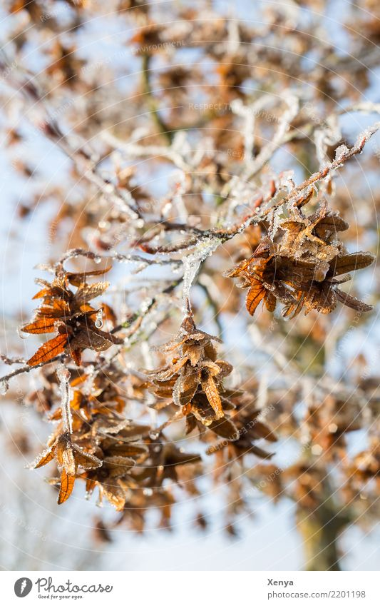 Vereist in der Sonne Natur Pflanze blau Baum Blatt Winter Holz kalt braun Park Eis Frost frieren vertrocknet Zweige u. Äste