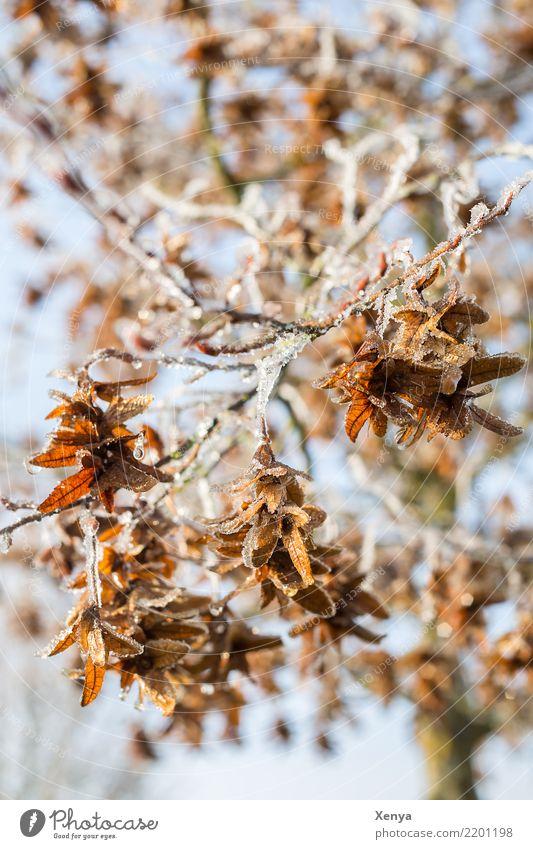 Vereist in der Sonne Natur Pflanze Winter Eis Frost Baum Blatt Park Holz frieren kalt blau braun Zweige u. Äste vertrocknet Farbfoto Außenaufnahme Menschenleer