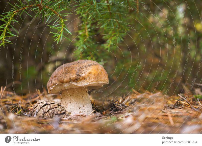Noch ein dicker Steinpilz Umwelt Natur Pflanze Tier Herbst Park Wald Essen Wachstum Steinpilze Pilzstiehl Pilzhut Pilzsucher Pilzsuppe Farbfoto Gedeckte Farben