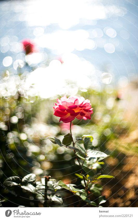 Rosengeglitzer Umwelt Natur Pflanze Wasser Sonnenlicht Sommer Herbst Schönes Wetter Wärme Blume Blatt Blüte Grünpflanze Wildpflanze Garten Park leuchten