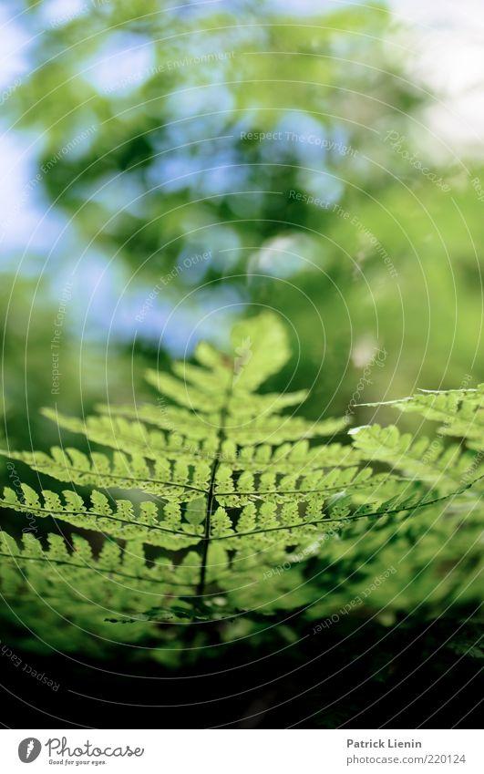 Grün ist die Hoffnung Natur schön grün Pflanze Blatt Luft hell Hintergrundbild Umwelt frisch Stengel Urelemente atmen Blattadern Farn Grünpflanze