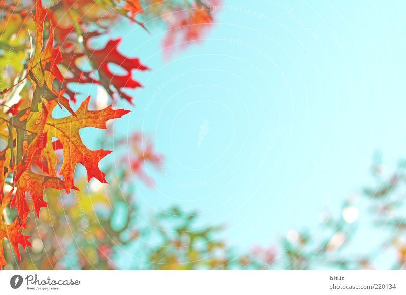 flammender Herbst...II Umwelt Natur Pflanze Luft Himmel Wolkenloser Himmel Schönes Wetter Blatt Grünpflanze Kitsch blau gelb grün rot Vergänglichkeit