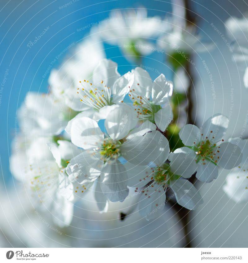 Temperaturen wie im Frühling Natur weiß Baum grün blau Blüte Frühling rein natürlich Schönes Wetter Blauer Himmel Blütenblatt Kirschblüten Zweige u. Äste Makroaufnahme Nutzpflanze