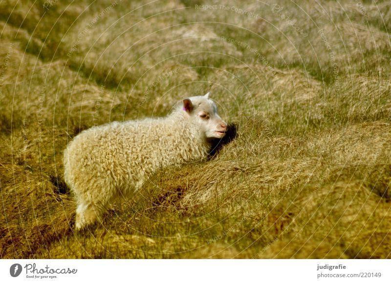 Island Umwelt Natur Pflanze Tier Gras Haustier Nutztier Schaf 1 Tierjunges dick klein natürlich wild Stimmung Idylle Wolle Tarnung Farbfoto Gedeckte Farben