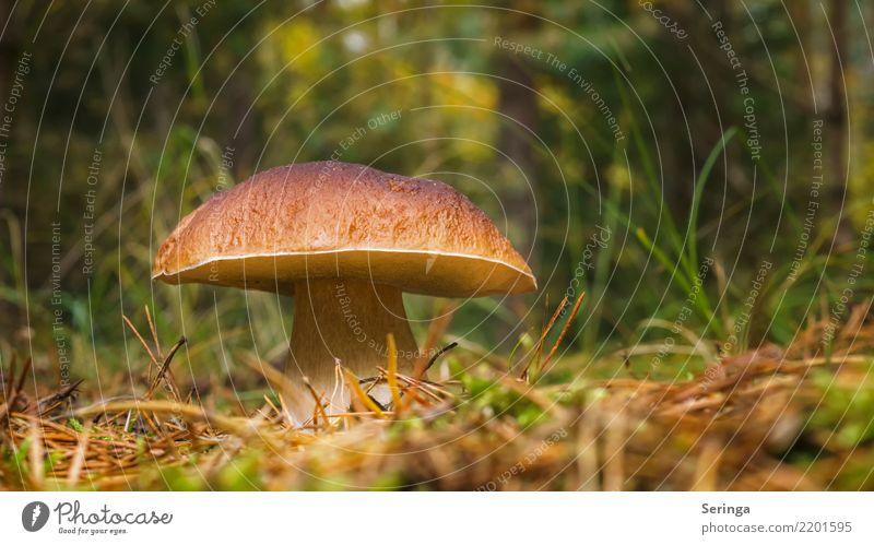 Was für ein dickes Ding Natur Pflanze Tier Herbst Baum Gras Moos Farn Park Wald Wachstum Steinpilze Pilz Pilzsucher Pilzsuppe Gift essbar Farbfoto