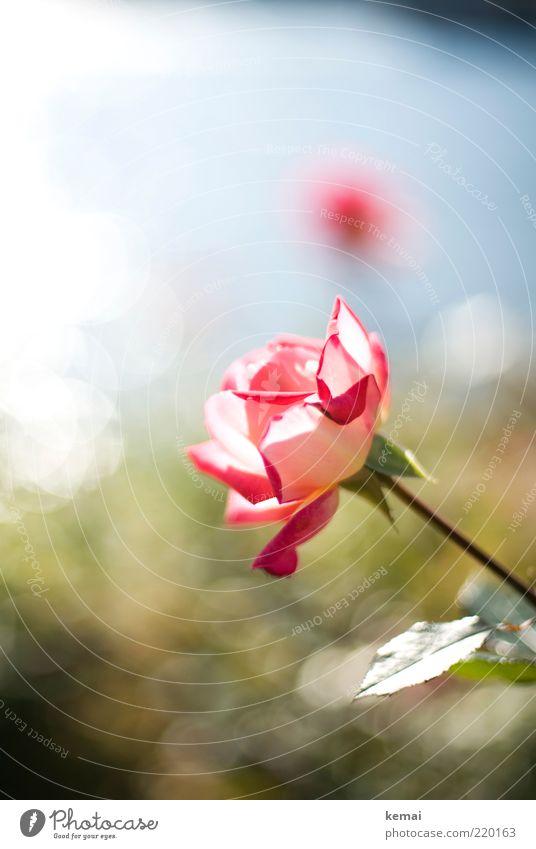 Rosa Rose Natur Wasser schön Blume grün Pflanze Sommer Blatt Herbst Blüte Wärme hell rosa elegant Umwelt frisch