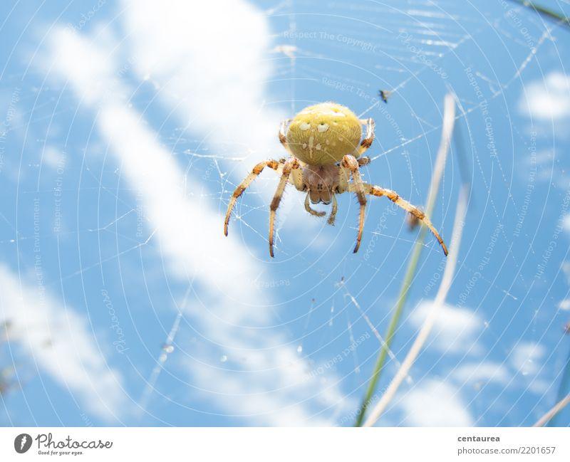 Spinne am Nachmittag Natur Tier Sommer Garten Park Wiese 1 beobachten nah blau gelb Netz Spinnennetz krabbeln Farbfoto Außenaufnahme Textfreiraum unten Tag
