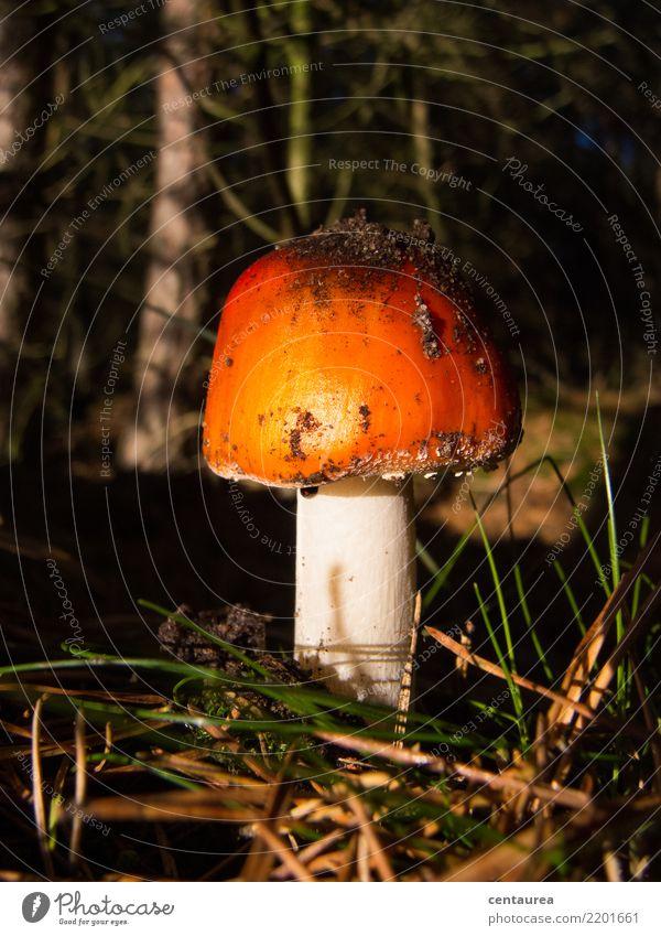 Pilz im Wald Natur Erde Herbst orange rot weiß Sammlung Pilzsucher Gift Farbfoto Außenaufnahme Textfreiraum oben Schatten Kontrast