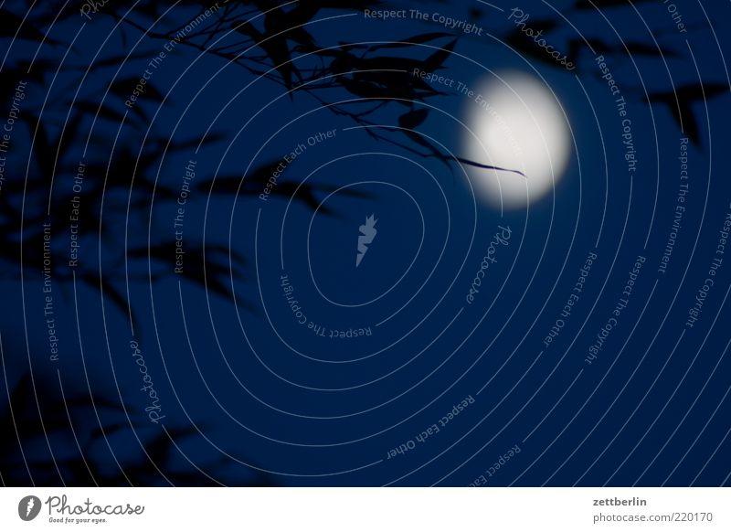 Mond hinter Bambus Ferne Freiheit Umwelt Natur Urelemente Himmel Nachthimmel Pflanze Blatt Einsamkeit Oktober wallroth Zweig Ast Farbfoto Außenaufnahme