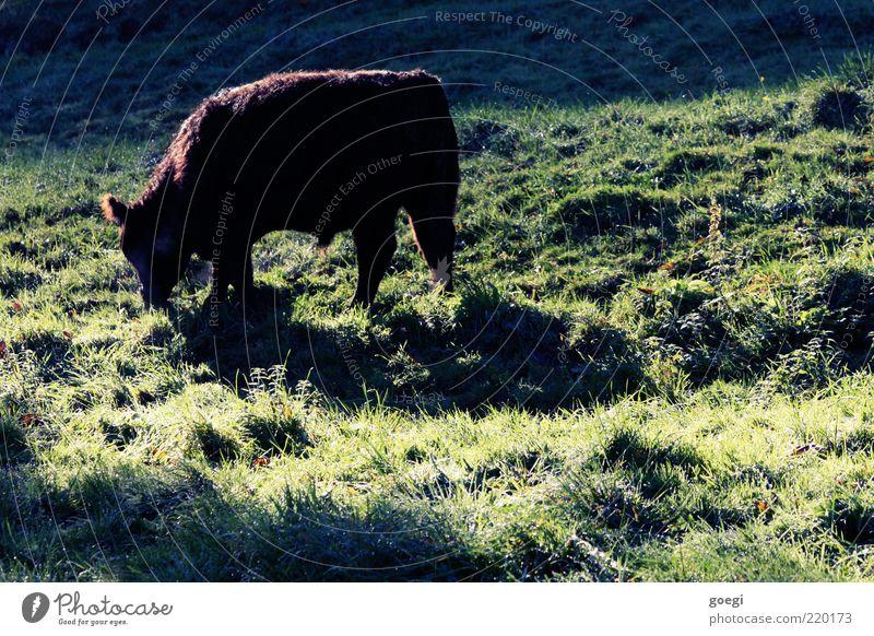 die Mägen vollschlagen Natur Pflanze Sommer Tier Wiese Umwelt Gras Feld Hügel Kuh Weide Schönes Wetter langhaarig Fressen füttern nachhaltig